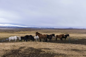 Photo of a group of icelandic horses