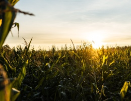 An image showing the sunset over a corn field
